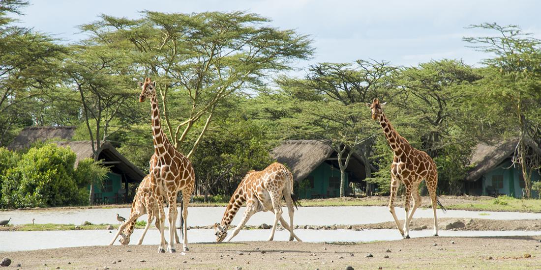 Giraffes-on-Kenya-Safari