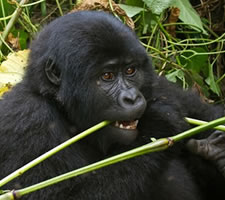 12 Day Kenya- Rwanda Safari